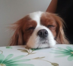 cavalier king charles spaniel hackensack pennydive