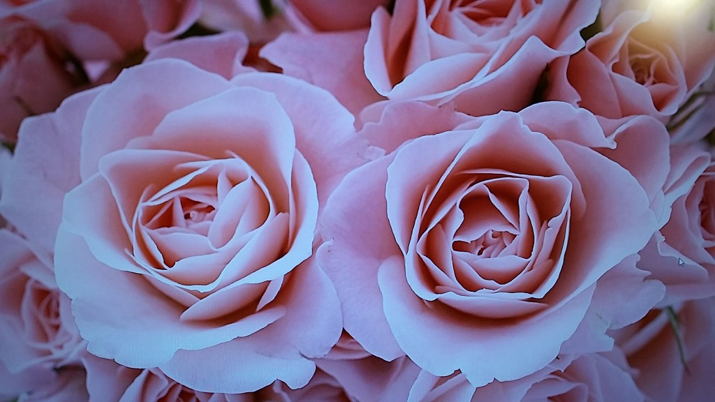 background roses windows 8 hp envy1 7 tum